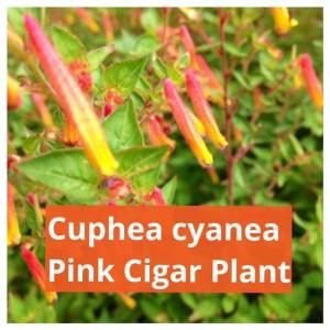 pink cigar plant, cuphea cyanea