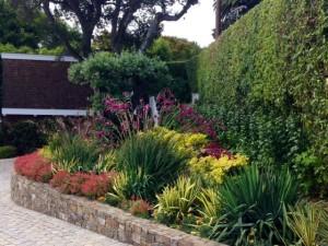 pink cigar plant  (cuphea) in garden bed