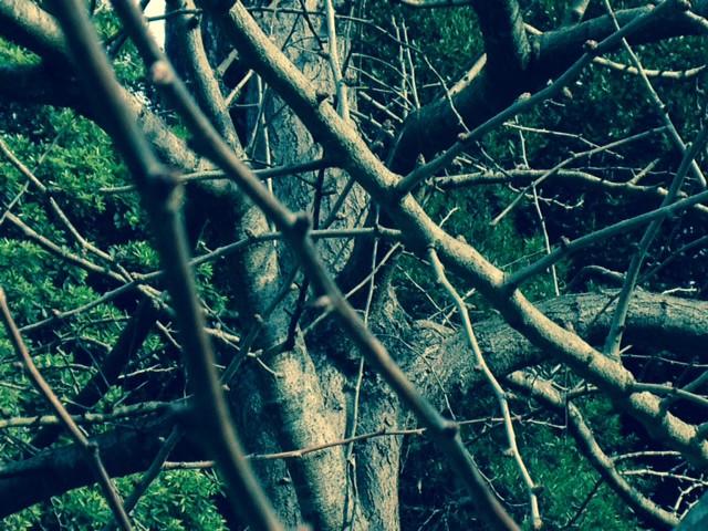 Ginkgo tree in winter
