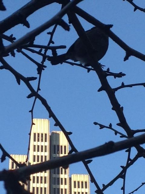 Finch in leafless Ginkgo tree San Francisco