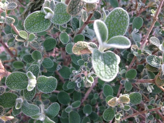 Phlomis lanata close up foliage