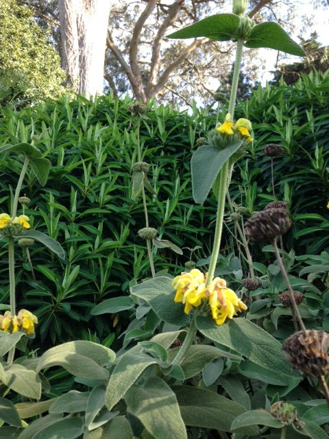 Jerusalem sage -Phlomis fruticosa