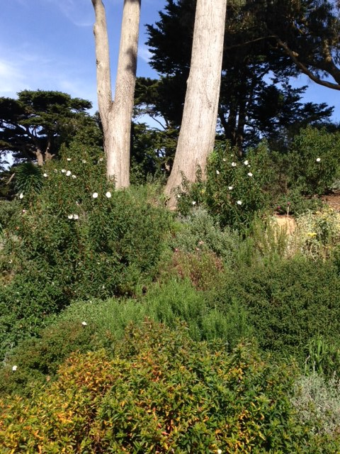 white flowering cistus rockrose