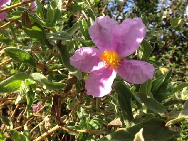 pink flowering cistus