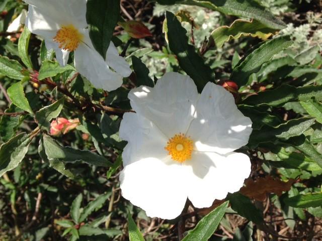 white rockrose flower - cistus
