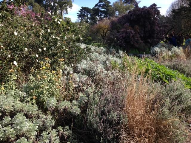white flowering cistus san francisco botanical gardens