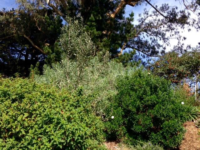 rockrose foliage comparison