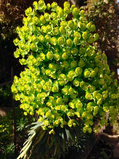 Euphorbia wulfenii flower cluster