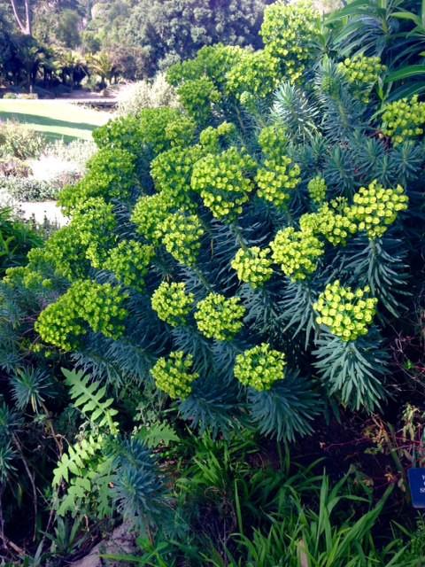 Euphorbia characias - spurge