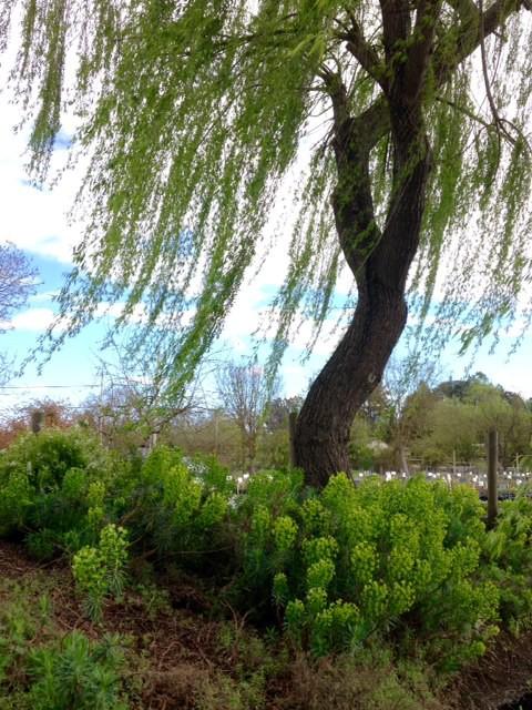 Euphorbia under weeping willow tree