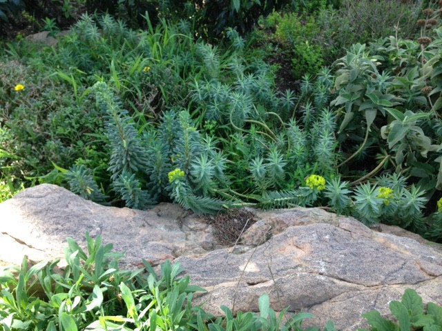 spurge and rock