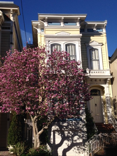 purple flowering magnolia with yellow victorian home san francisco ca
