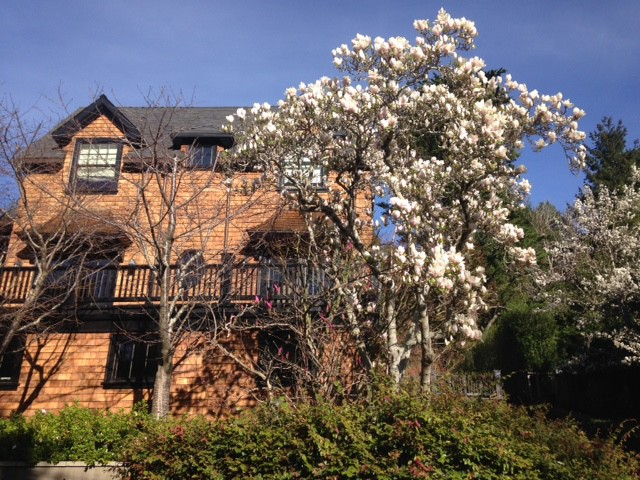 white saucer magnolia and mill valley house