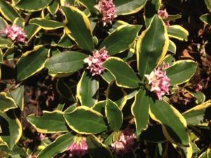 Variegated daphne in bloom