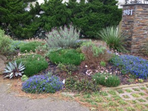 armeria and lithodora
