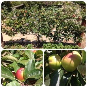 multi-budded apple espalier