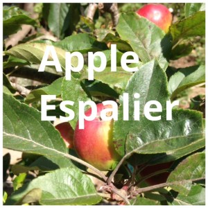Small Garden? Try an Espaliered Multi-Budded Apple Tree!