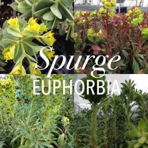 Plant Spotlight: Cool Spurge (Euphorbia) for Low Water Garden Design