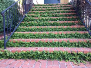 brick entry stairs with creeping fig vine