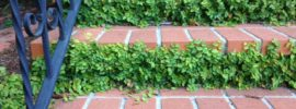 creeping fig vine growing along brick stairs