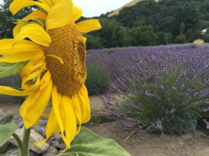 Sunflower and Lavender Field