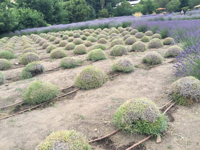 Harvested and Unharvested Lavender