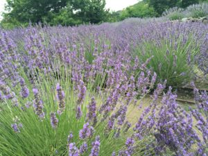 Center Stage with Lavender Fields in the Garden