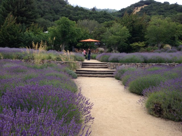 Tons of Lavender