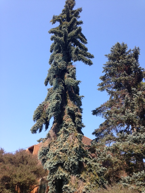 blue upright conifer in Berkeley, CA