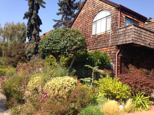 blue upright conifers in Berkeley, CA