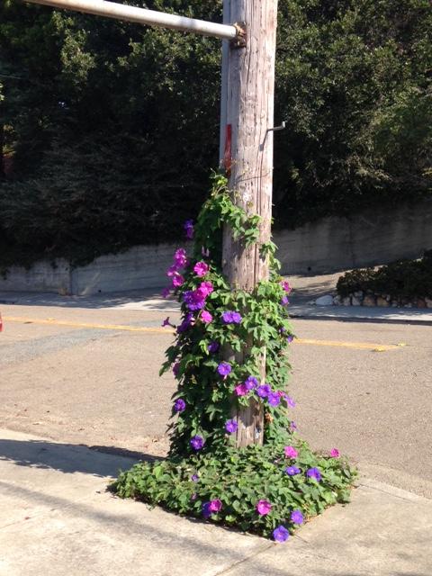 morning glory vine climbing up ugly telephone pole