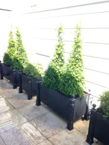 metal planters with boxwood and pittosporum topiaries