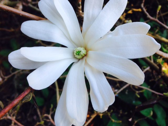 close-up white star magnolia flower