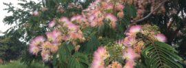 albizia julibrissin - mimosa tree in flower