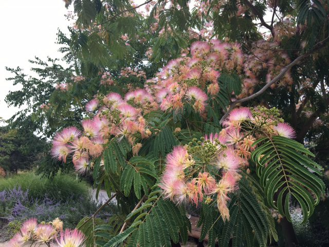 albizia julibrissin - mimosa tree in flower