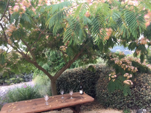 flowering albizia julibrissin shade tree with outdoor table