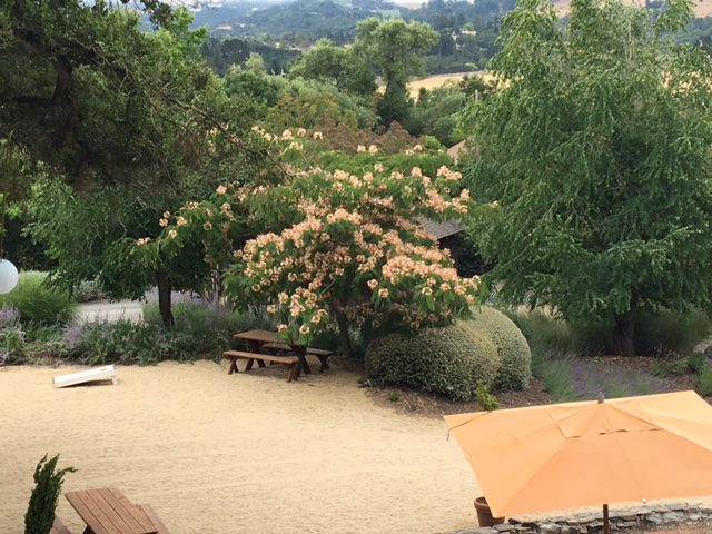 Looking down on Albizia julibrissin - mimosa tree in Napa
