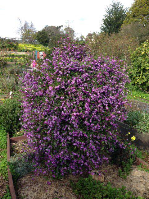 Hardenbergia vine