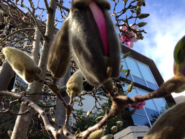 close up: pink saucer magnolia opening