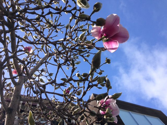 saucer magnolia in flower and fuzzy buds