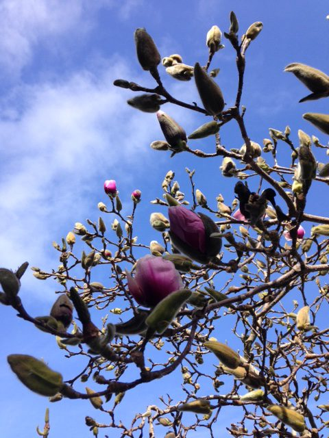 flower buds and magnolia flowers