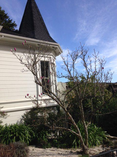 magnolia soon to bloom