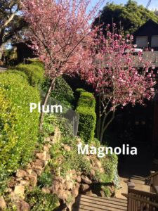 flowering plum and saucer magnolia