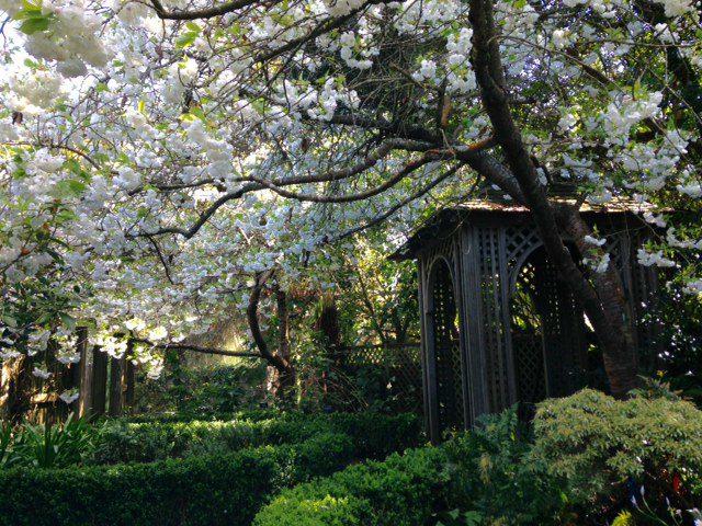 Prunus 'Shirotae' SF Botanical Garden