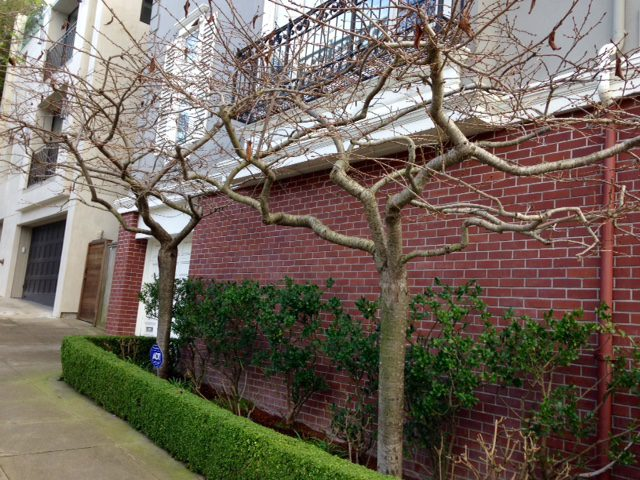 two standard cherry trees in small front garden bed -winter -San Francisco