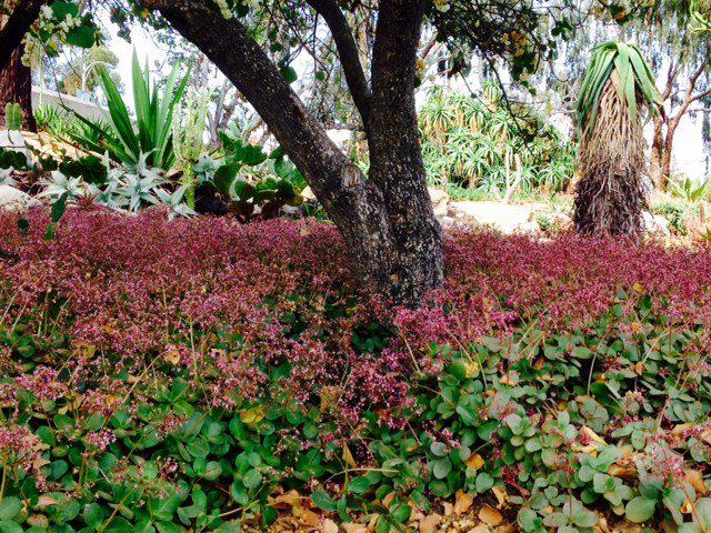 crassula multicava groundcover beneath an oak tree