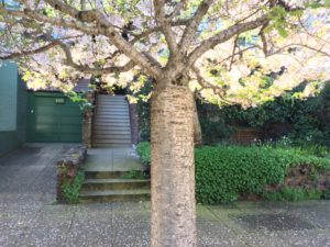 Flowering Cherry tree in Pacific Heights, San Francisco
