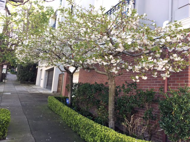 two standard cherry trees in small front garden bed - spring -San Francisco