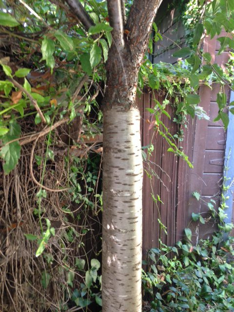 standard flowering cherry with lenticels on bark