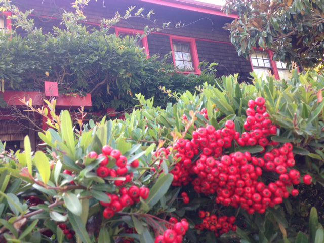 red berries of pyracantha (firethorn)